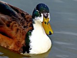 New Camera, Another Duck