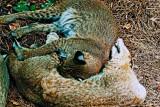 Sleeping Bobcats