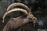 Stambecco-Alpine Ibex (Capra ibex)