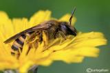 Halictus sp.