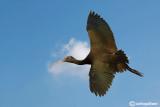 Mignattaio -Glossy Ibis (Plegadis falcinellus)
