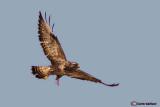 Poiana calzata-Rough-legged Buzzard (Buteo lagopus)