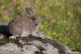 Coniglio selvatico-Rabbit ( Oryctolagus cuniculus )