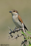 Averla piccola -Red-backed Shrike(Lanius collurio)