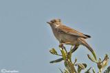 Sterpazzola- Common Whitethroat (Sylvia communis)