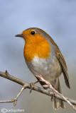 Pettirosso-European Robin(Erithacus rubecula)