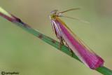 Onocera semirubella