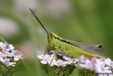Orthoptera sp,