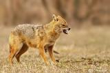 Sciacallo dorato -Golden jackal (Canis aureus) Male
