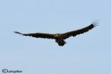 Aquila di mare-White-tailed Eagle (Haliaeetus albicilla)