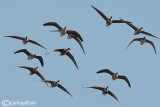 Oca lombardella-Greater White-fronted Goose (Anser albifrons)