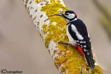 Picchio rosso maggiore-Great Spotted Woodpecker (Dendrocopos major))