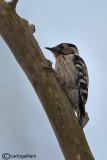 Picchio rosso minore -(Lesser Spotted Woodpecker (Dendrocopos minor)