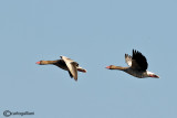 Oca selvatica- Greylag Goose (Anser anser)