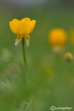 Ranunculus bulbous