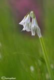 Allium triquetum