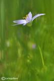 Ornithogallum umbellatum