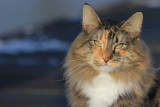 Our Norwegian forest cat