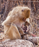 Baboon Mother & Child