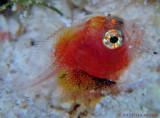Larval Scorpionfish