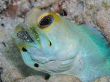 Male Yellowhead Jawfish with Eggs