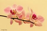 Orhideja.jpg