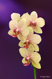 Orhideja 6.jpg