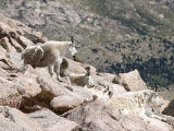 Goats and a Marmot
