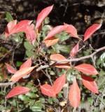 Black Hawthorn