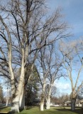 Siberian Elms
