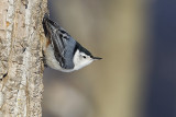 white-breasted nuthatch 011213_MG_2779