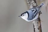 white-breasted nuthatch 021813_MG_6709