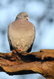 Holenduif - Stock dove
