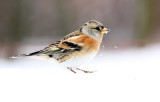 Keep - Brambling