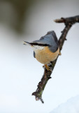 Boomklever - Nuthatch