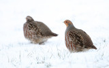 Patrijs - Grey Partridge