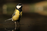 Koolmees - Great Tit
