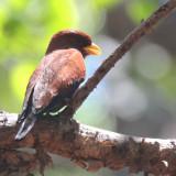 Broad-billed Roller,  Ankarafantsika NP, Madagascar
