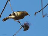 Common Jery, Kirindy NP, Madagascar