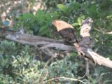 Cuckoo Hawk, Tsingy de Bemaraha, Madagascar