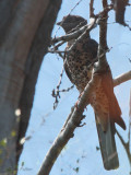 Cuckoo Roller (female), Zombitse NP, Madagascar