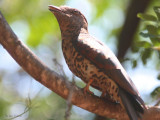 Cuckoo Roller (female), Amkarafantsika NP, Madagascar