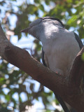 Cuckoo Roller (male), Ankarafantsika NP, Madagascar