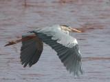Grey Heron, Betsiboka Estuary, Madagascar