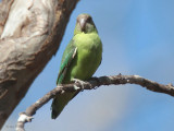 Grey-headed Lovebird, Kirindy NP, Madagascar
