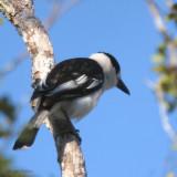 Hook-billed Vanga, Kirindy NP, Madagascar