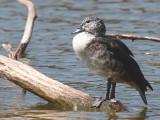 Knob-billed Duck (female), Lake Alarobia-Antananarivo, Madagascar