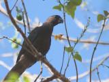 Lesser Vasa Parrot, Ankarafatsika NP, Madagascar