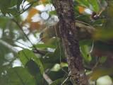 Long-billed Greenbull or Bernieria, Andasibe NP, Madagascar