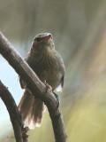 Madagascar Brush Warbler, Isalo NP, Madagascar
